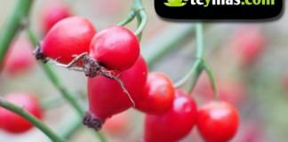 Fruto del escaramujo