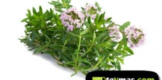 Ajedrea (Satureja hortensis)