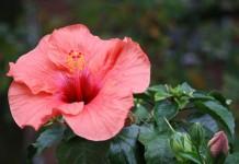 tisana de hibisco