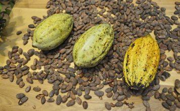 Producción de cacao en costa de marfil