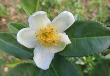 Camellia Sinensis, la planta del té